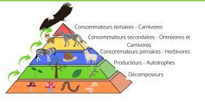 Flux de matière et d'énergie dans un écosystème : définition et exemples