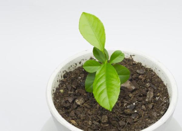 Comment planter un citronnier - Quand planter un citronnier ?