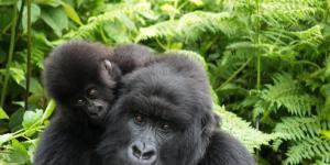 Le gorille est-il une espèce menacée ?