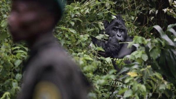 Le gorille est-il une espèce menacée ? - Pourquoi le gorille est en voie de disparition