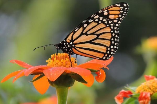 Le cycle de vie du papillon : étapes et images - La dernière étape du cycle de vie  du papillon : le stade adulte