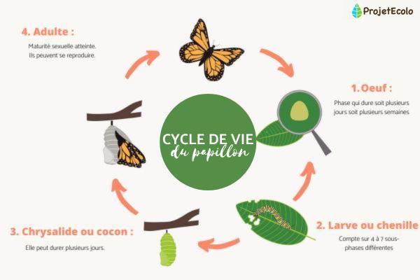 Le cycle de vie du papillon : étapes et images