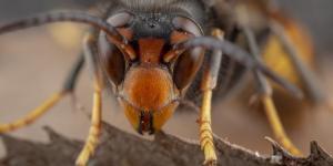 Frelon asiatique - Caractéristiques, nid et piqûre