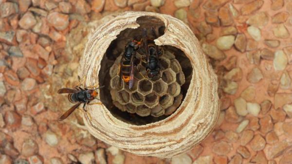Frelon asiatique - Caractéristiques, nid et piqûre - Nid du frelon asiatique