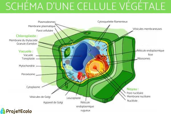Cellule végétale - Définition, schéma et taille - Schéma d'une cellule végétale
