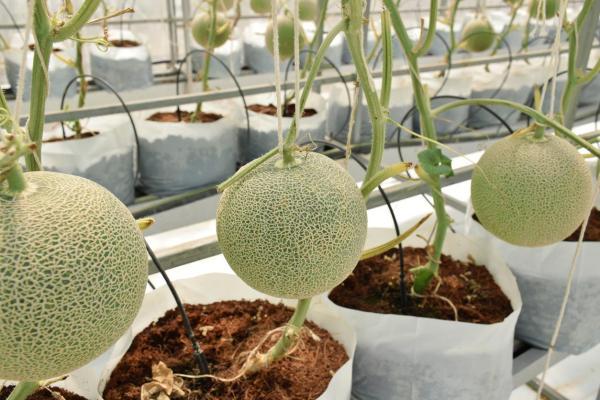 Comment planter des melons