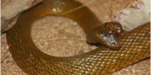 Quel est le serpent le plus venimeux du monde ?