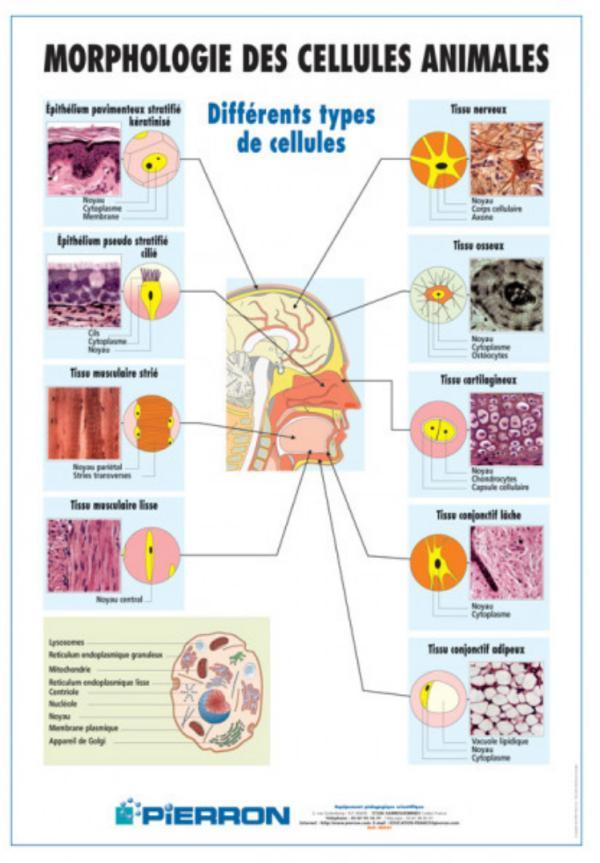 Cellule animale - Définition, Schéma, Taille - Définition d'une cellule animale et ses différents types