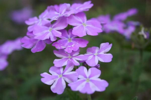 11 plantes qui fleurissent toute l'année - La verveine
