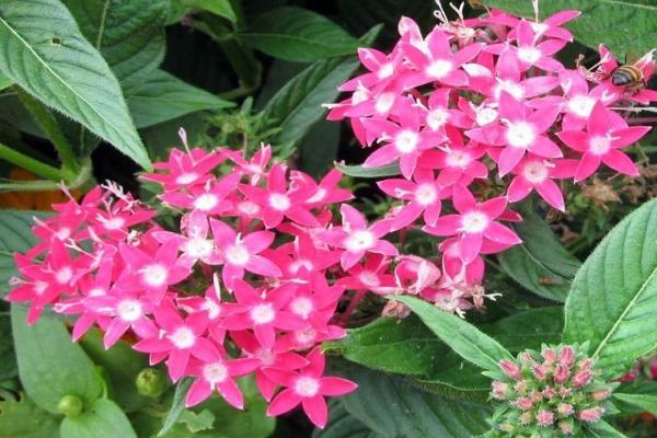 11 plantes qui fleurissent toute l'année - Pentas