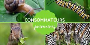 Consommateur primaire : Définition et exemples