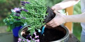 Comment planter la lavande