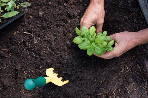 Comment planter du basilic