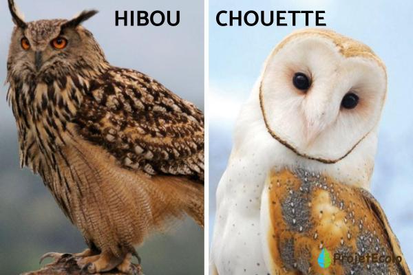 Oiseaux nocturnes : noms et types - Oiseaux de nuit : types et caractéristiques