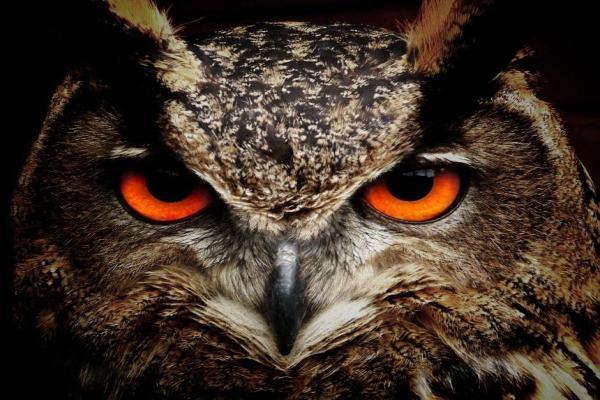 Oiseaux nocturnes : noms et types - Oiseaux nocturnes : classification taxonomique