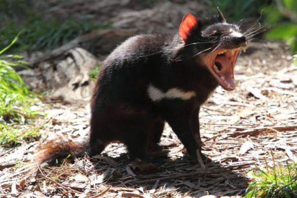 Animaux d'Australie en voie de disparition - Diable de Tasmanie
