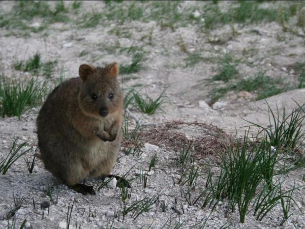 Animaux d'Australie en voie de disparition - Quokka