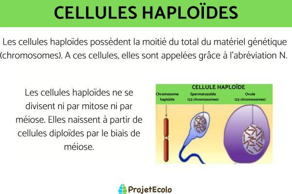 Cellule haploïde et diploïde - Définition et différence avec schéma - Définition de cellule haploïde