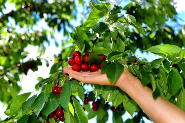 Quand et comment planter un cerisier