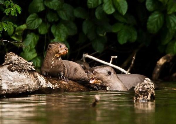Animaux d'Amérique du Sud en voie de disparition - Loutre géante