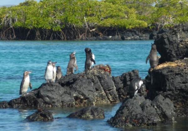 Animaux d'Amérique du Sud en voie de disparition - Manchot des Galápagos