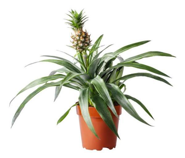 Quand et comment planter un ananas - Comment planter un ananas en pot - étape par étape