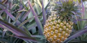 Quand et comment planter un ananas