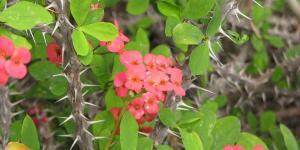 Plantes épineuses - Espèces et caractéristiques