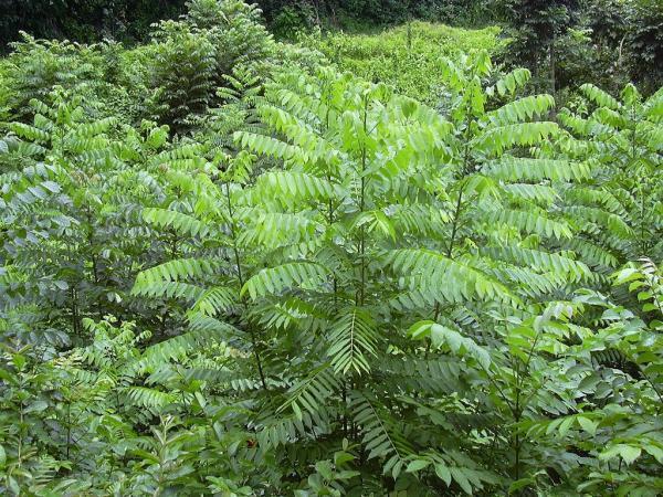 Liste des arbres en voie de disparition - Acajou amer