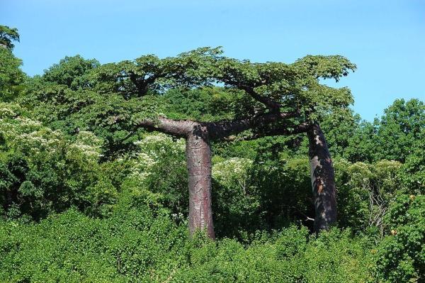 Liste des arbres en voie de disparition - Baobab de Suarez