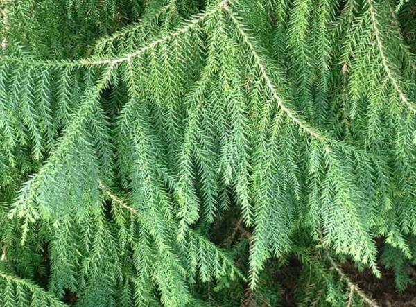 Liste des arbres en voie de disparition - Taiwania