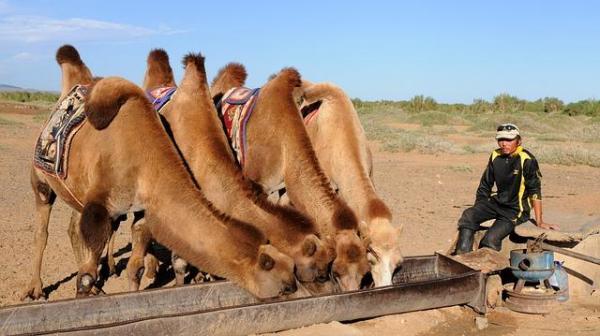 Différence entre chameau et dromadaire - D'autres différences entre le chameau et le dromadaire