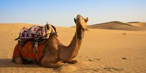 Différence entre chameau et dromadaire